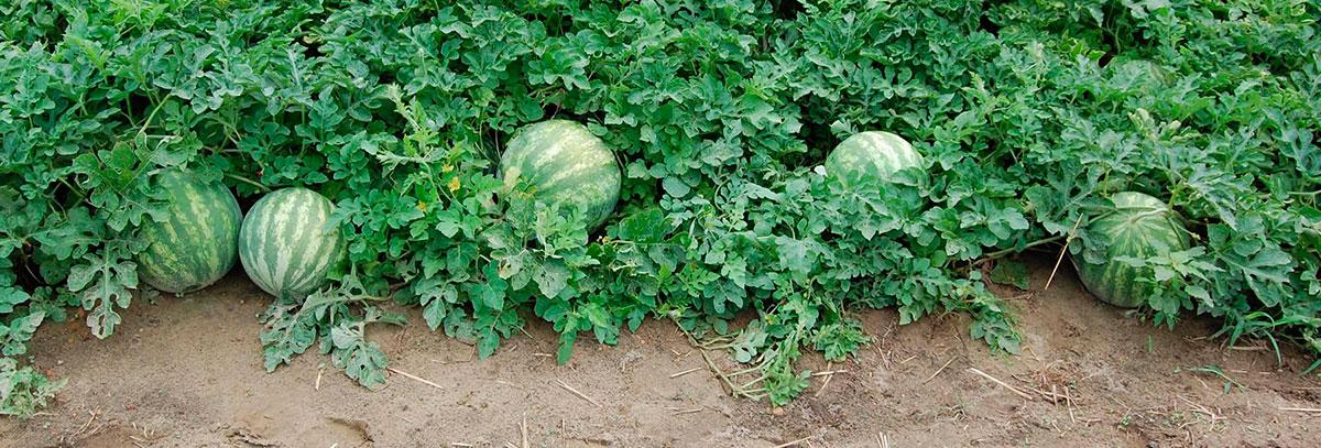 watermelonplant
